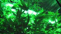 Plateau  Légalisation du cannabis l'incroyable révolution américaine