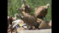 Pyrénées Les vautours attaquent