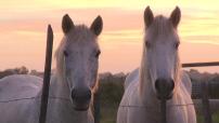 Illustrations chevaux dans la campagne australienne