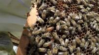 Le Mag - Le miel de l'Opéra Garnier : ruches et fabrication de miel (2/2)
