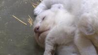 Illustrations du Zoo d'Amnéville où viennent de naître trois lionceaux blancs