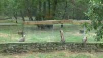 Un bébé guépard adopté au Safari Parc de Peaugres