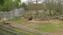 Naissance d'un ourson brun au zoo de la Boissière du Doré