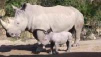 Naissance en captivité : illustrations de Timbo, le bébé rhinocéros blanc né au zoo d'Amnéville