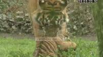 Illustration enclos des tigres de Sumatra du zoo de La Boissière-du-Doré