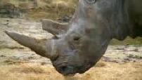 Un rhinocéros abattu par des braconniers au zoo de Thoiry