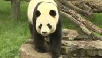 Pour la première fois en France, un panda femelle devrait donner naissance à un bébé au zoo de Beauval