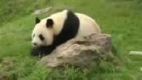 Illustration enclos des pandas au zoo de Beauval