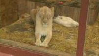 OFF - Quatre lionceaux blancs sont nés au zoo d'Amnéville