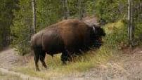 La route des bisons : Parc de Yellowstone, bisons
