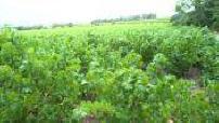 South African vineyard near Cape Town