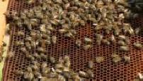LE MAG :  : L'abeille noire de l'île d'Ouessant