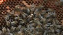 Ouessant - Illustrations d'abeilles noires et de miel