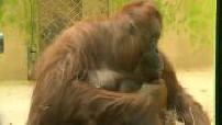 Birth of a baby orang utan the garden plants