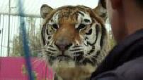 Cirque : dressage d'un tigre