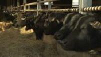 Troupeau de bufflonnes en Auvergne