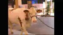 Salon de l'Agriculture 2004 : préparatifs avant ouverture + portrait d'un porc noir gascon