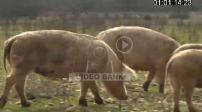 Nicolas Brahic in his organic farm raises pigs that live in the open air