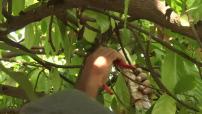 Plantation de cacao au Perou 01