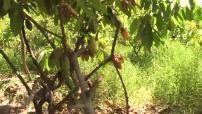 Plantation de Cacao au Perou 02
