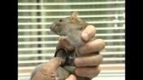 La folie des rats