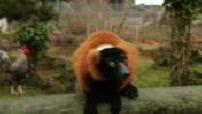 Lemurs Zoo La Boissiere du Dore