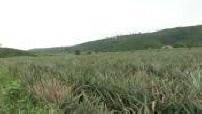 Plantation d'ananas au Ghana