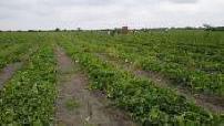 Vue aérienne par drone d'ouvriers agricoles pendant la récolte de melons