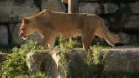 ZONE INTERDITE : Griffon Zoo Pari Daiza