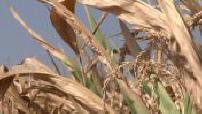 Canicule : la sécheresse frappe le Bas-Rhin
