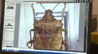 Inra : Illustrations insectes et punaise diabolique